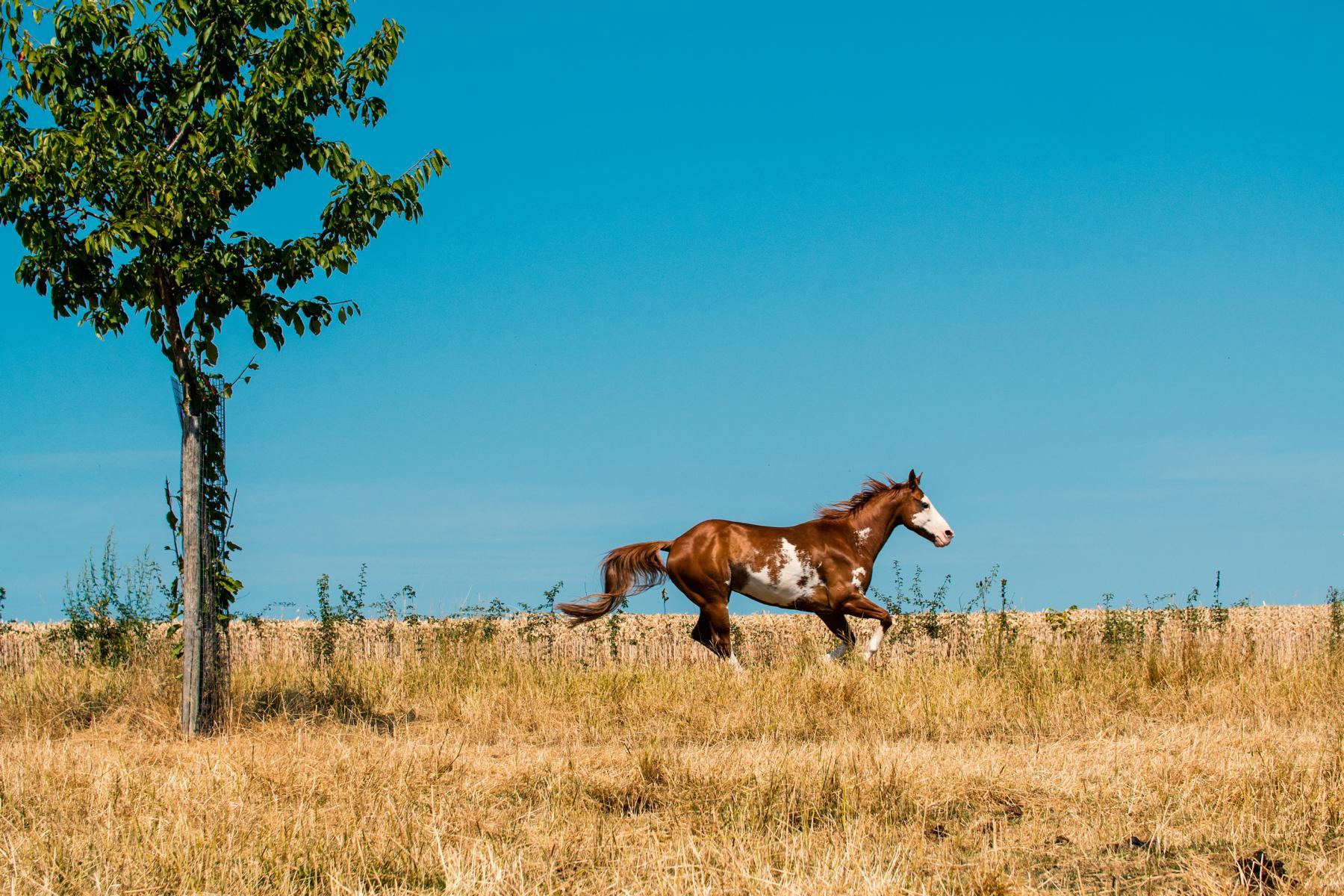 Westernhorse Summer Frei Pinto
