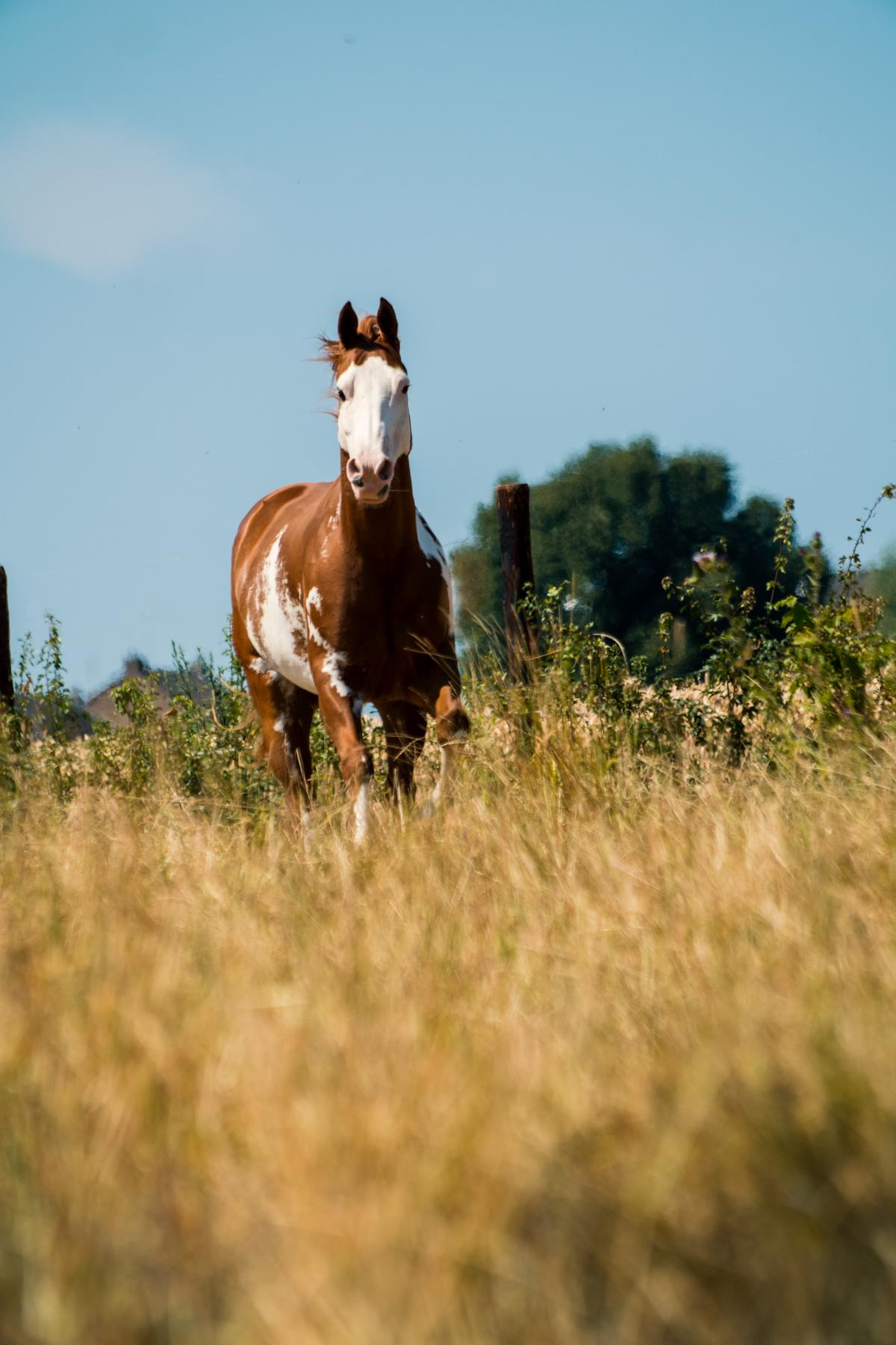 Pinto Frei Summer Westernhorse