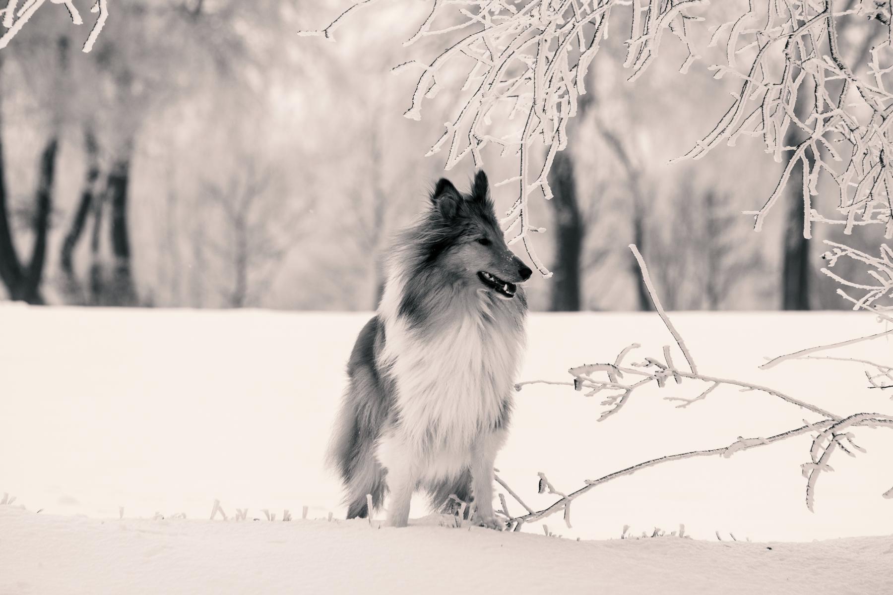 Australian Shepherd Collie Hund Natur