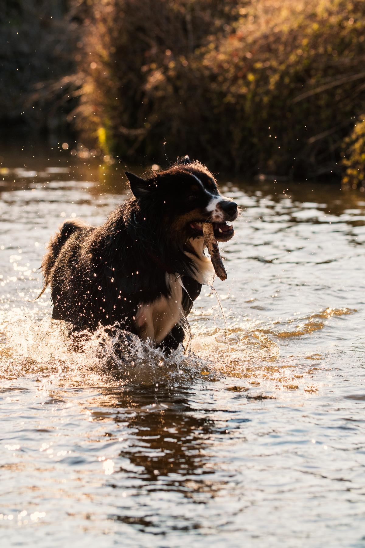 Australian Shepherd Wasser Hund Natur