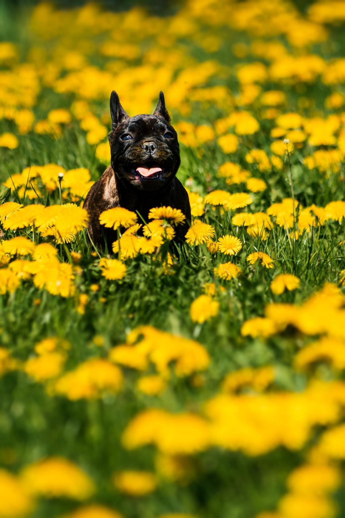 Französische Bulldogge Löwenzahn Hund Natur