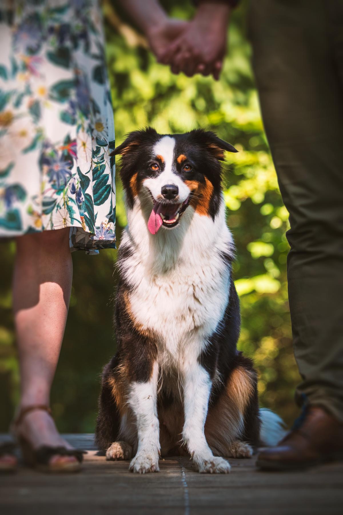 Australian Shepherd Hund Natur