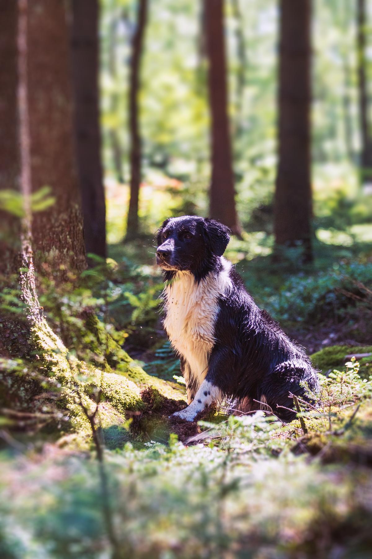 Border Collie Mix Hund Natur Wald