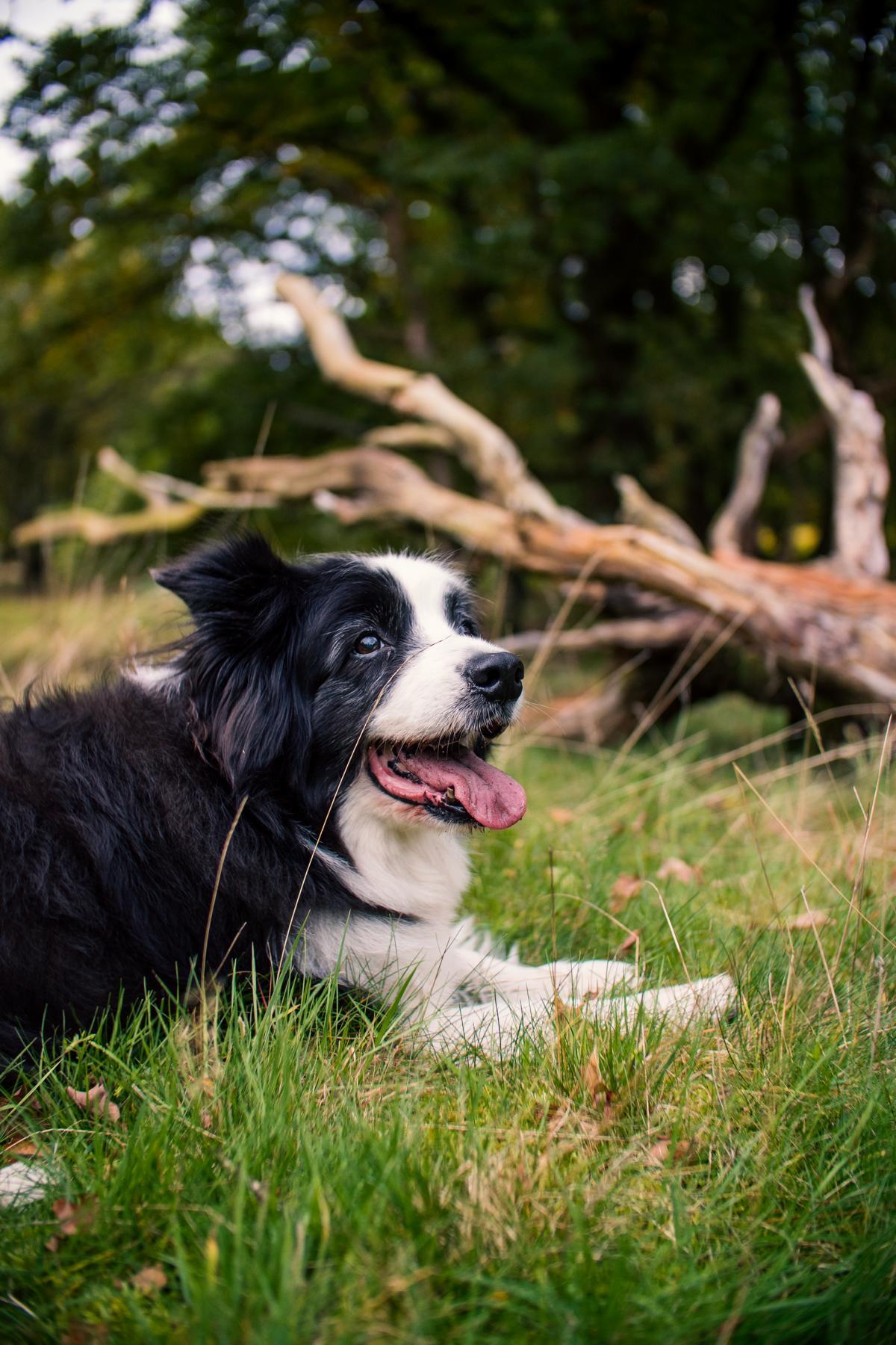 Border Collie Mix Hund Natur
