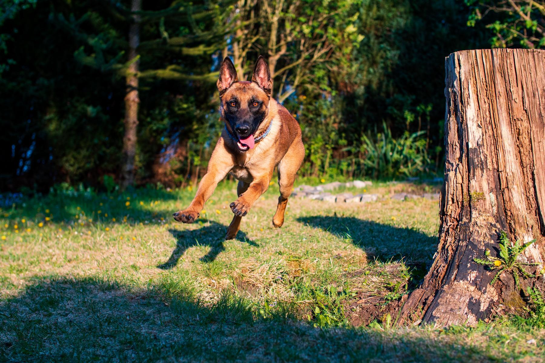 Malinois Belgischer Schäferhund Hund Natur