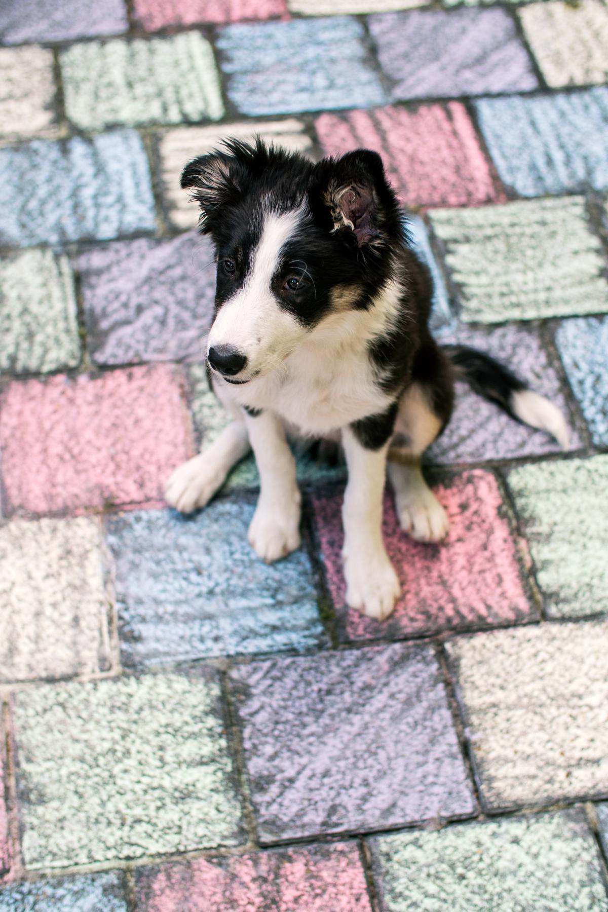 Border Collie Hund Natur