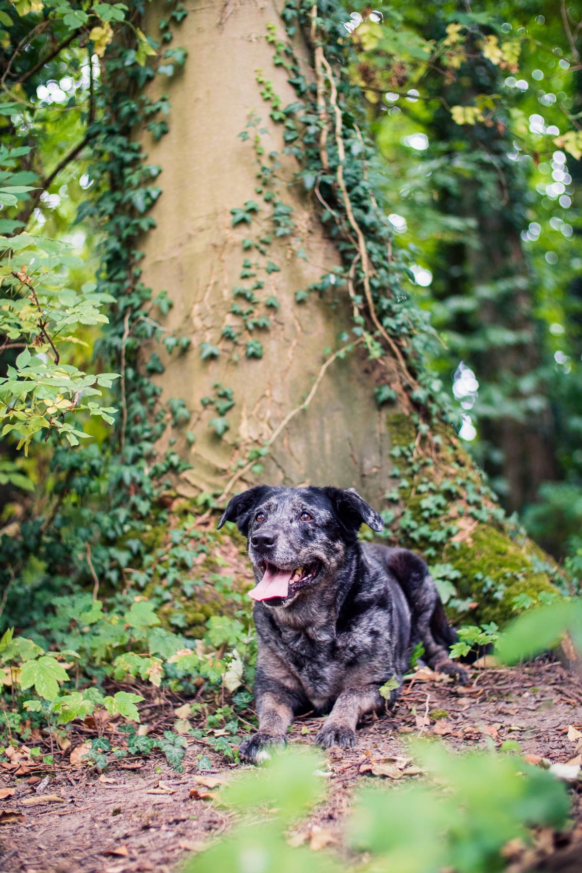 Border Collie Australian Shepherd Mix Hund Natur