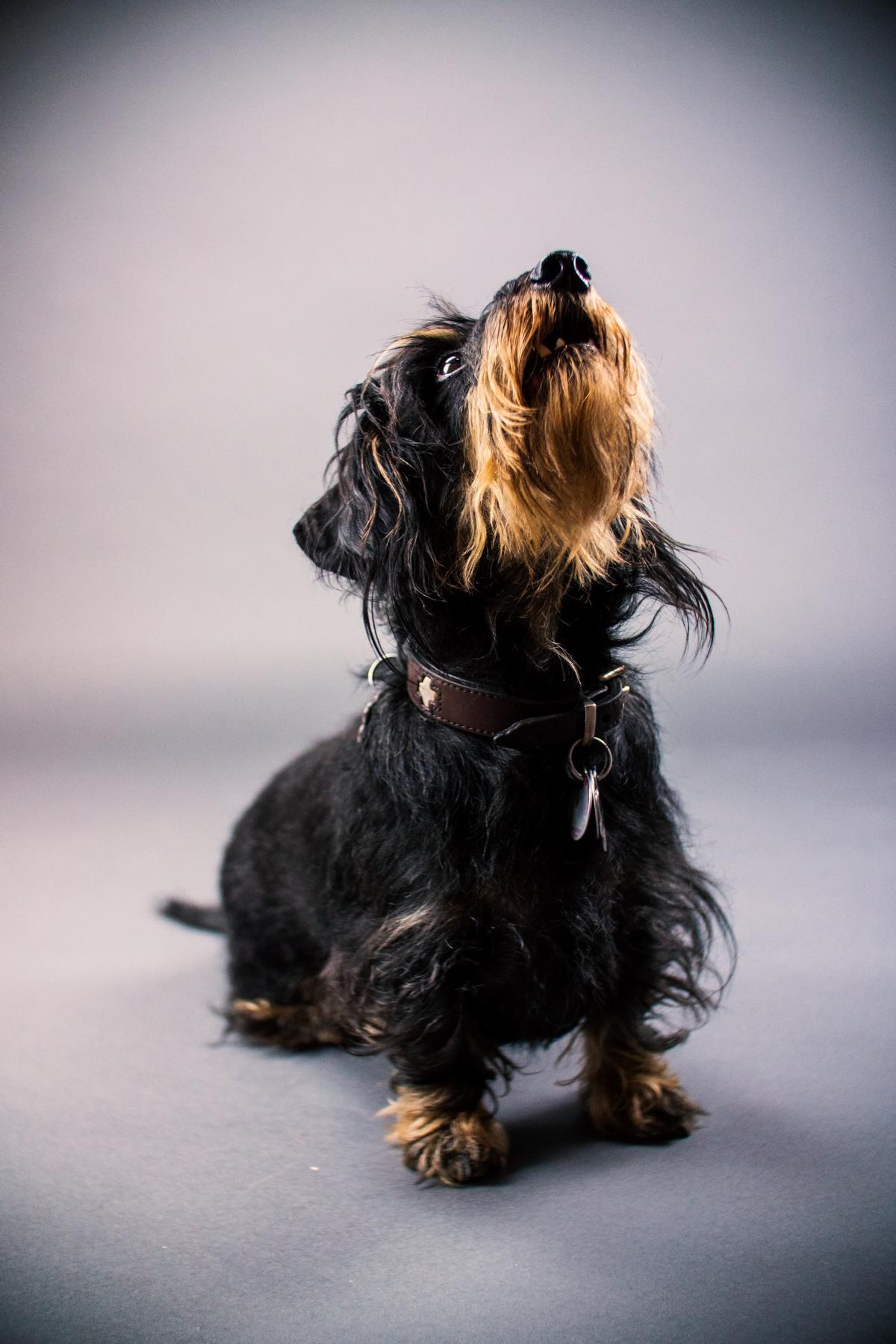 Rauhaardackel Hund Natur