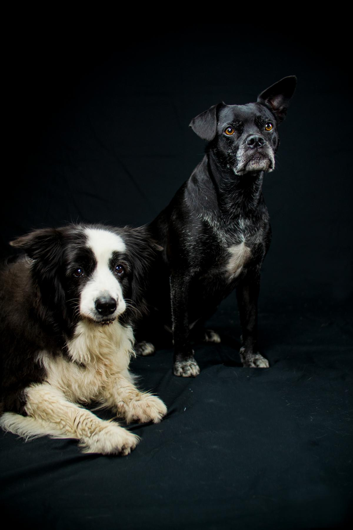 Border Collie Black Mix Hund Studio