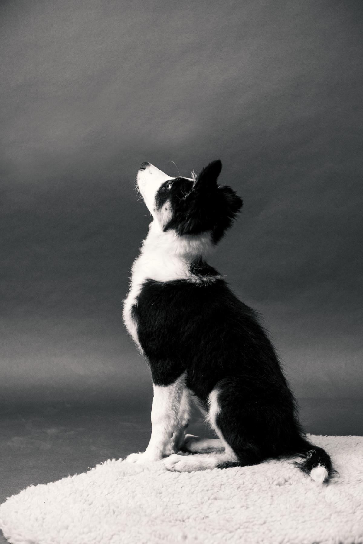 Border Collie Hund Studio