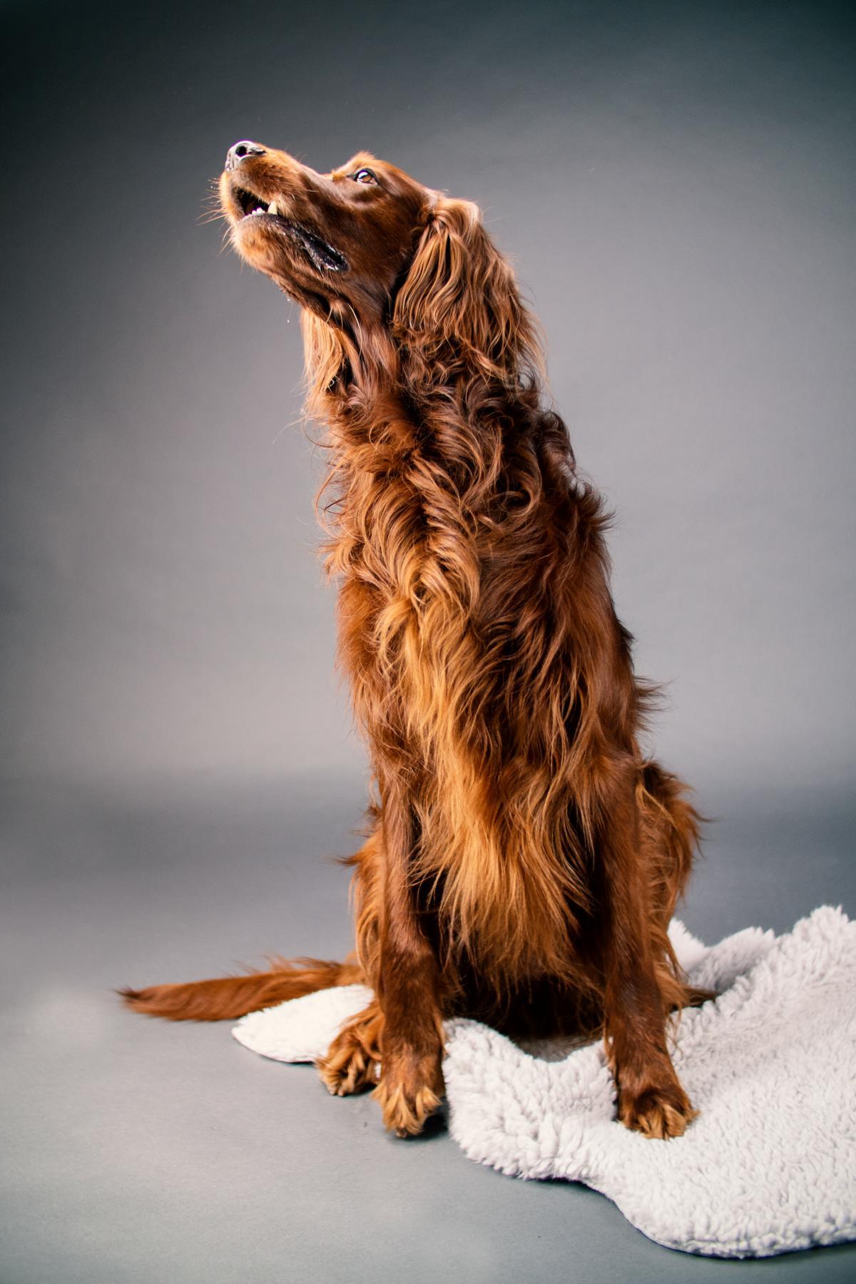 Irish Setter Jagdhund Hund Studio