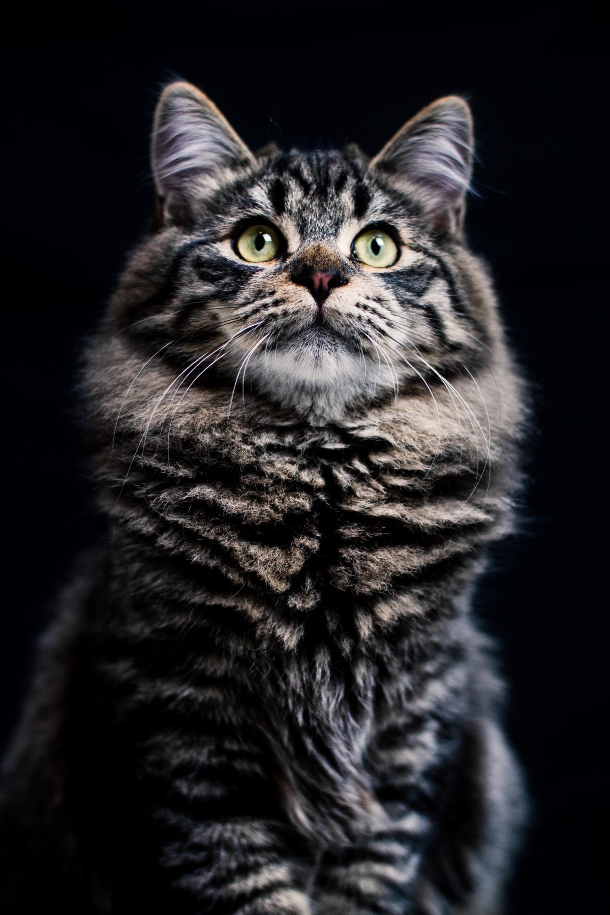 Hauskatze Katze Studio Tiger
