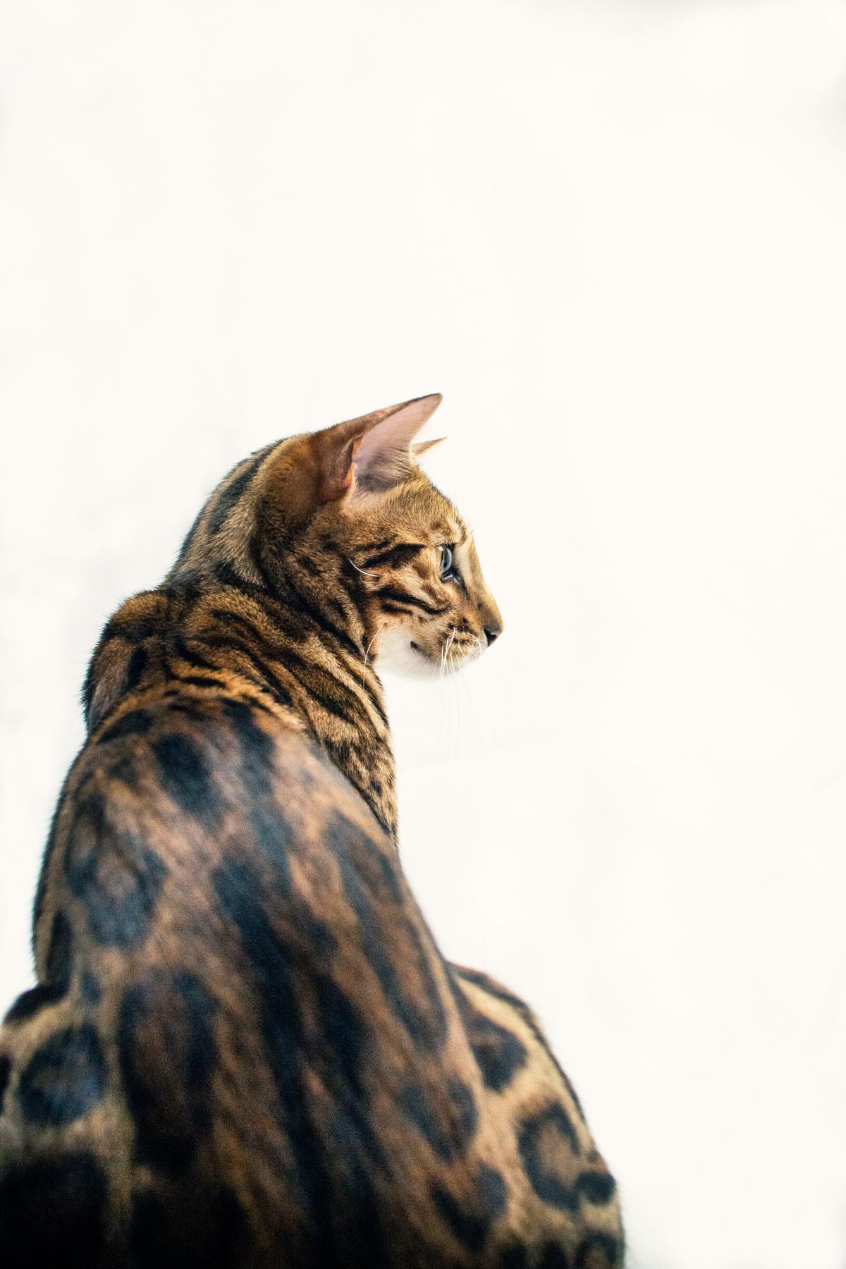 Bengal Katze Studio