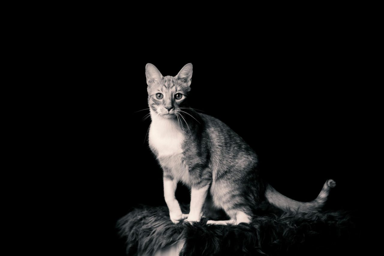 Rotweiß Katze Studio