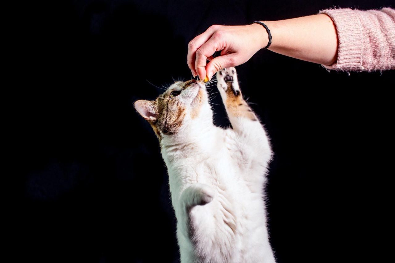 Katze Studio Tiger Weiß