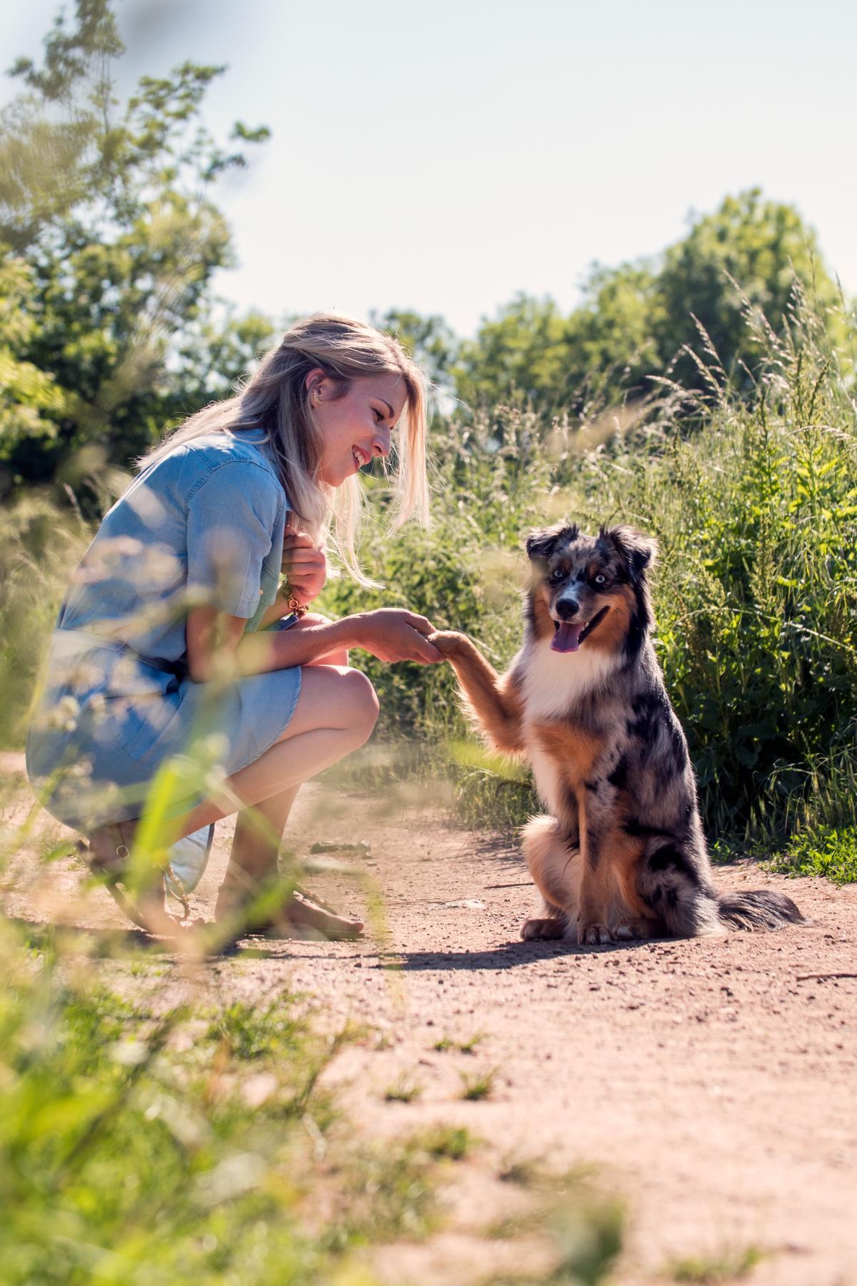 Mini Australian Shepherd Hund Portrait