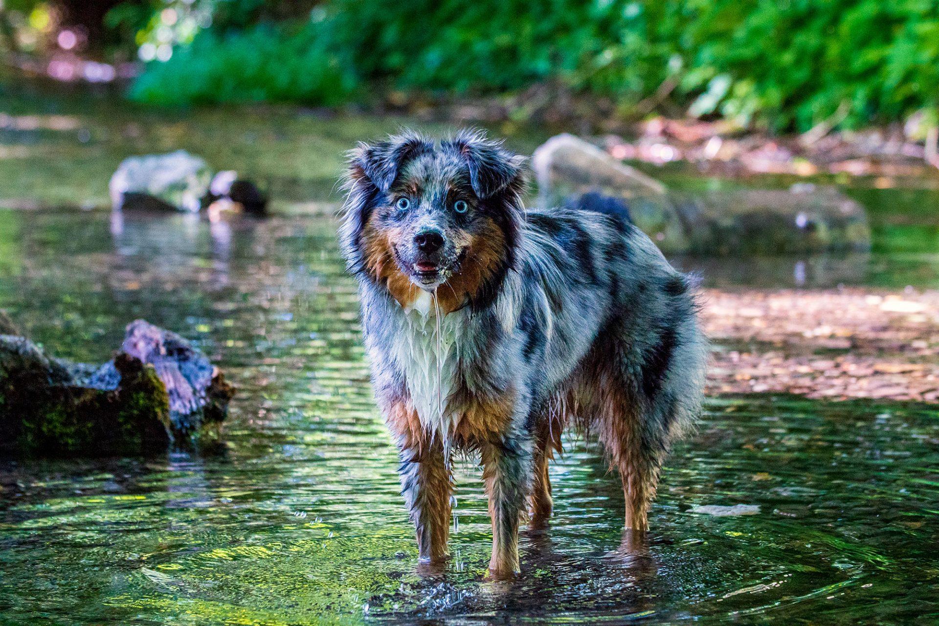Mini Australian Shepherd Ted Fluss Fotos